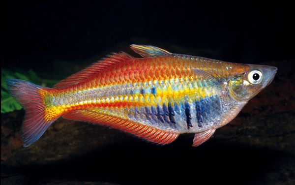 Ikan pelangi