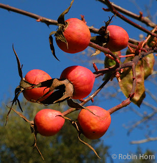 Bright Red Rose Hips against blue sky