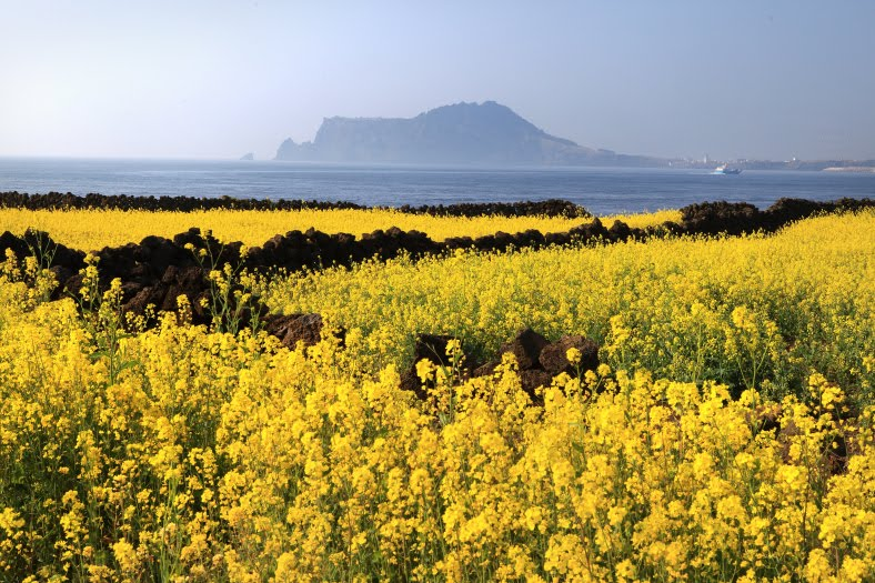 JEJU-DO RAPESEED FLOWERS  제주도 유채꽃