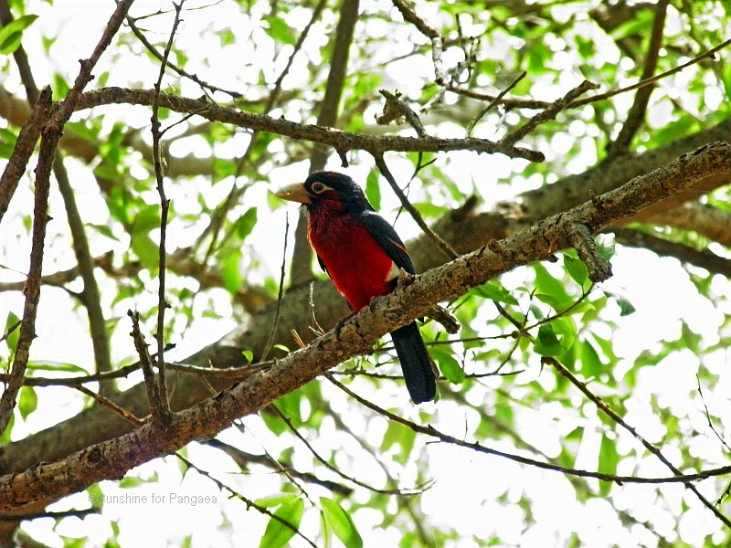 double-toothed barbet at lake tana in ethiopia