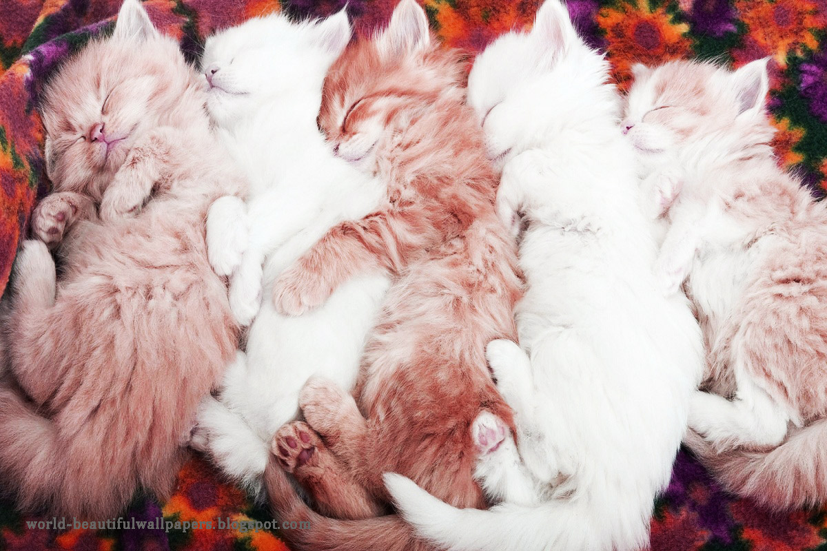 Beautiful Cats Wallpapers Acterss HD