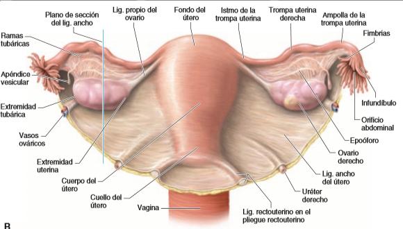 Laboratorio 4: Anatomía del aparato genital femenino