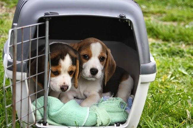 dog transport companies
