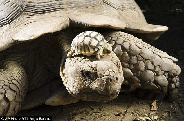 Anak kura-kura panjat atas kepala dan belakang ibunya