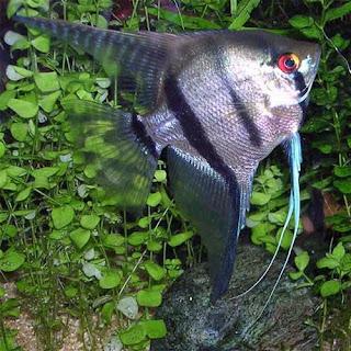 Аквариумни рибки Скалария