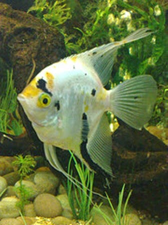 Angelfish as One Tropical Freshwater Fish Species - Freshwater Fish
