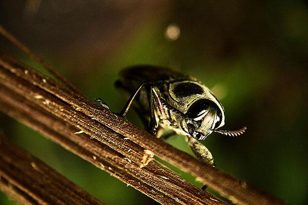 AMAZING AMAZON #8 : The Beetle / El cucarrón
