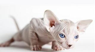 sphynx cat image