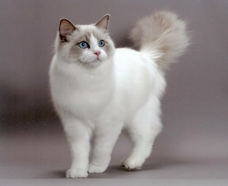 Qual a melhor raça de gatos-lindos e carinhosos