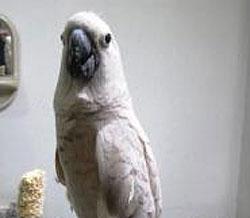 Tips cara melatih burung beo supaya bisa berbicara