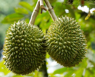 The Durian Fruit From Jombang Village