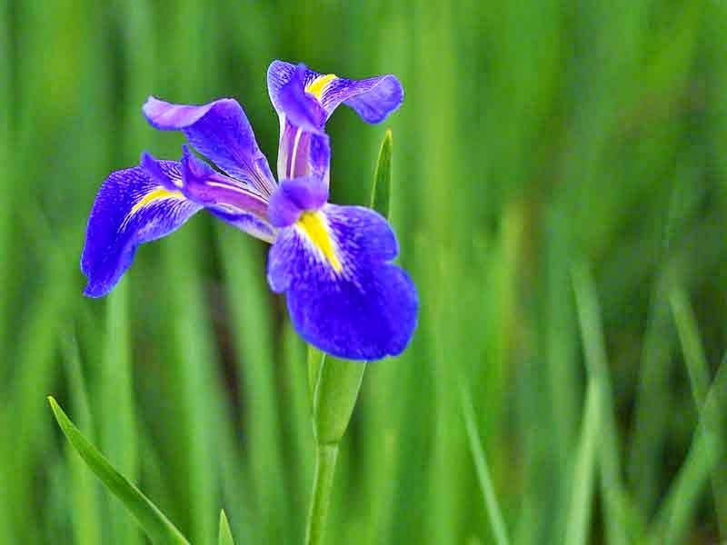 single Iris blossom in field of iris
