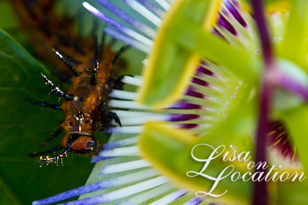 Gulf Fritillary caterpillar eating a caerulea passion flower