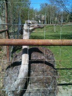 Ostrich behind wire fence