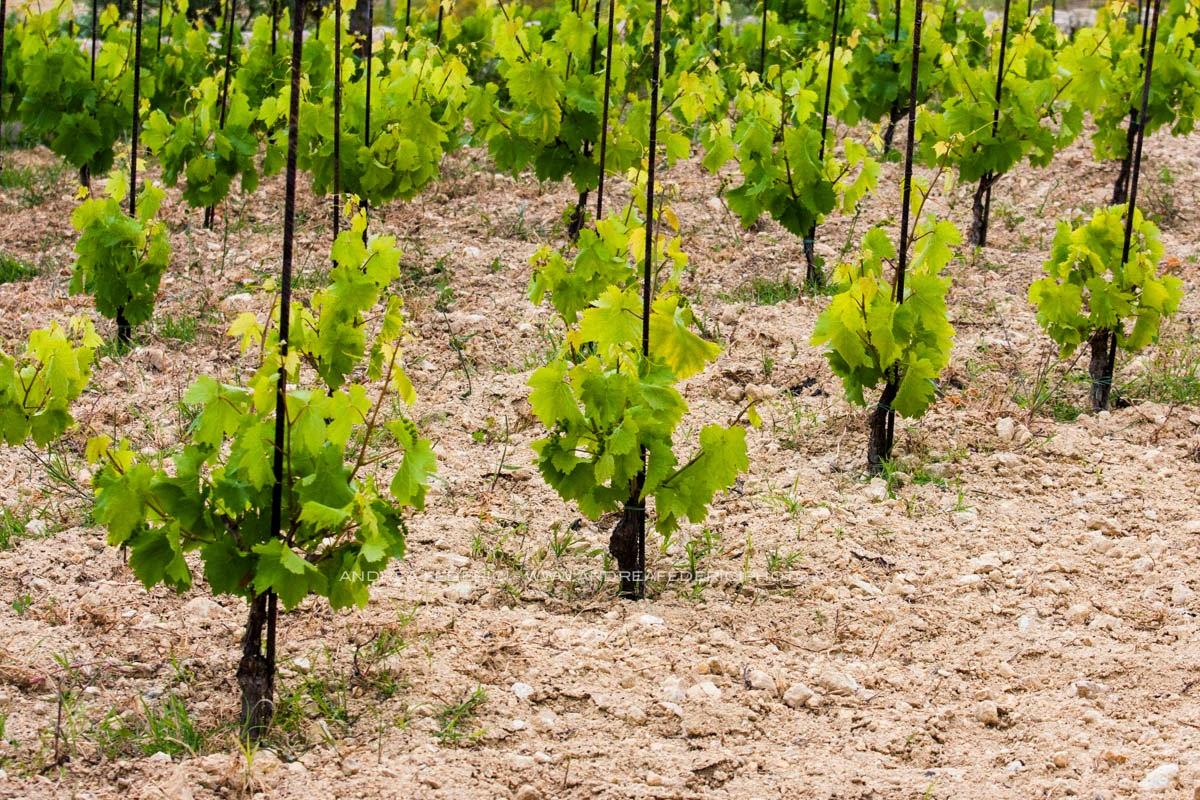 Degustazioni a grappoli in visita da marabino for Piante ad alberello