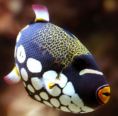 Close view of Clown triggerfish