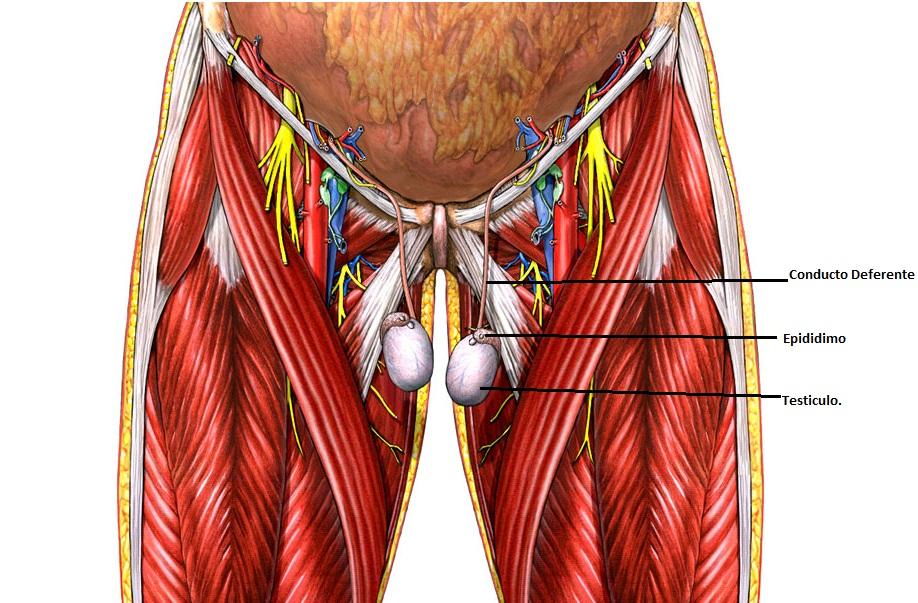 Lujoso Anatomía Testículo De Ratón Ilustración - Anatomía de Las ...