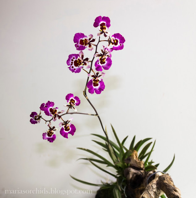 http://2.bp.blogspot.com/-KvBNc7wOK-w/UO4DubdW30I/AAAAAAAACdc/bam2_eUxqJk/s1600/tolumnia+pink+panther+blooming.jpg