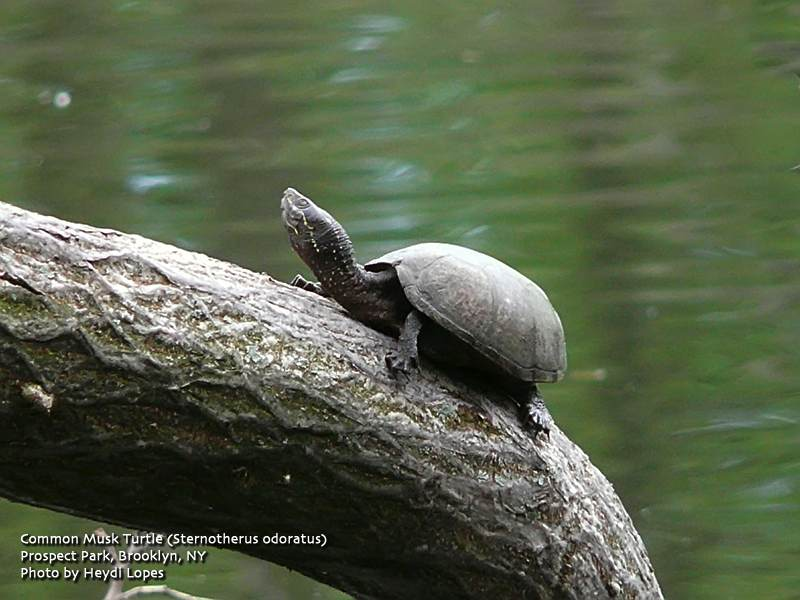 Tuesdays post started me thinking about our urban turtles. They are ...