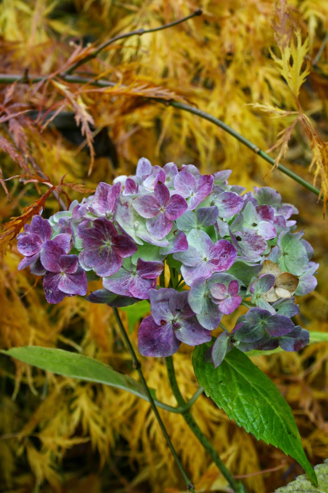 Trädgårdshortensia Hydrangea macrophylla 'The Bride'