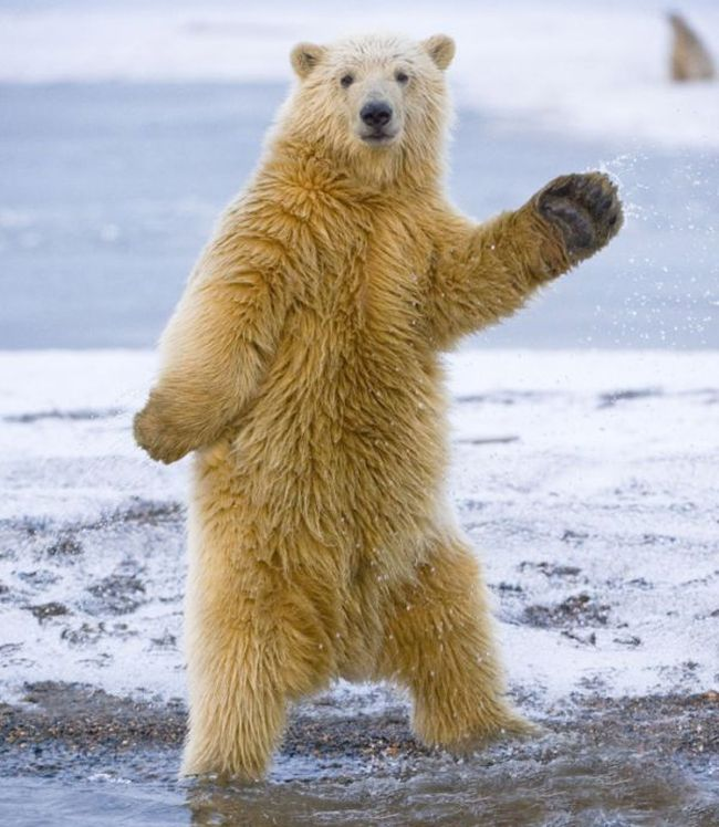 Funny polar bear dancing, dancing animals