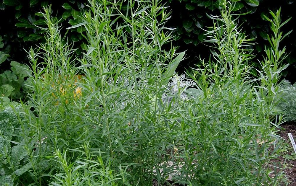 Backyard Patch Herbal Blog Tarragon Herb Of The Week