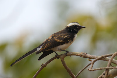 A photograph of a White-browed Fantail taken in Yala, Sri Lanka