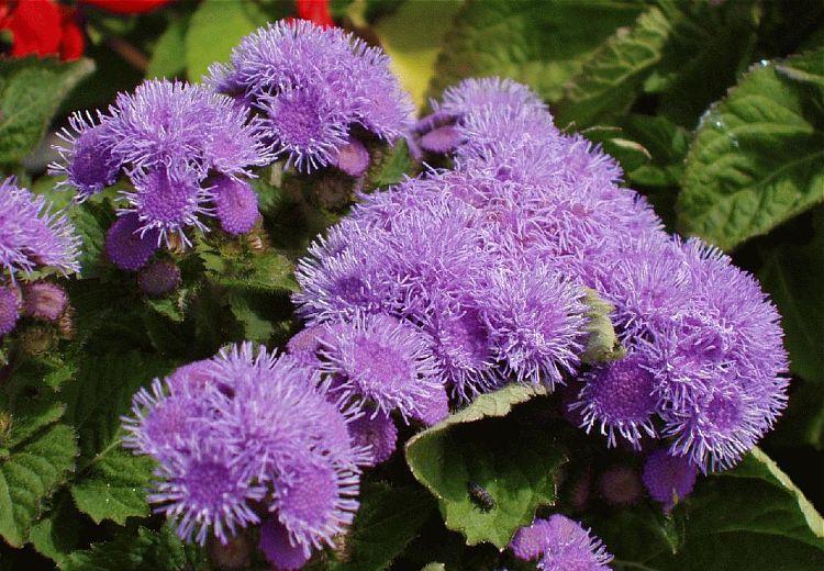 Piante e fiori agerato ageratum for Piante e fiori