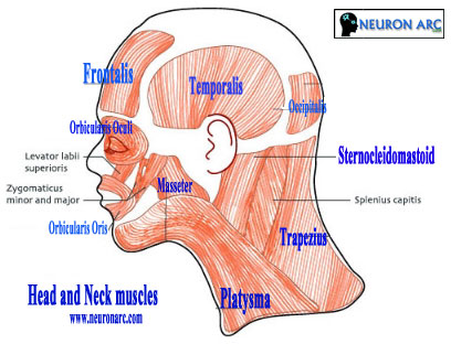 Head and Neck muscles: Origin, Insertion and Action
