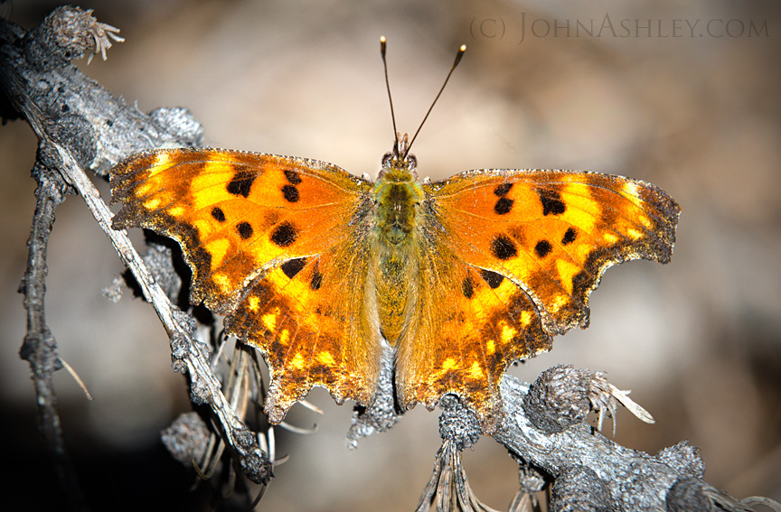 A year-old Satyr Comma butterfly suns its upper wings on a Montana spring afternoon (c) John Ashley