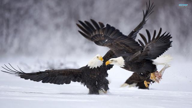 3D Best Eagle Wallpaper