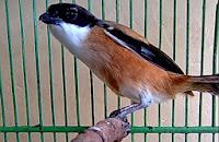 Inilah Cara Merawat Burung Cendet Agar Cepat Rajin Berkicau Gacor :