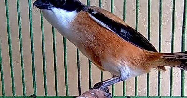 cara merawat burung cendet agar cepat berkicau gacor