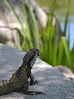 chinese garden lizard