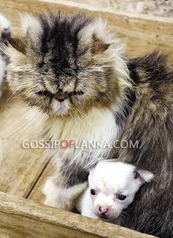 Gossip Lanka, Hiru Gossip, Lanka C News - Cat gives birth to a dog