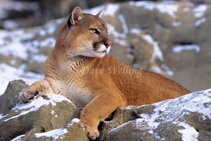 Snow mountain animals - photo#11