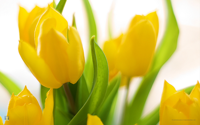 spring flower wallpaper. Yellow Spring Flower