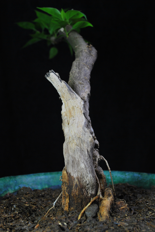 Bougainvillea Bonsai Deadwood