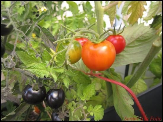 tomates cerises pot