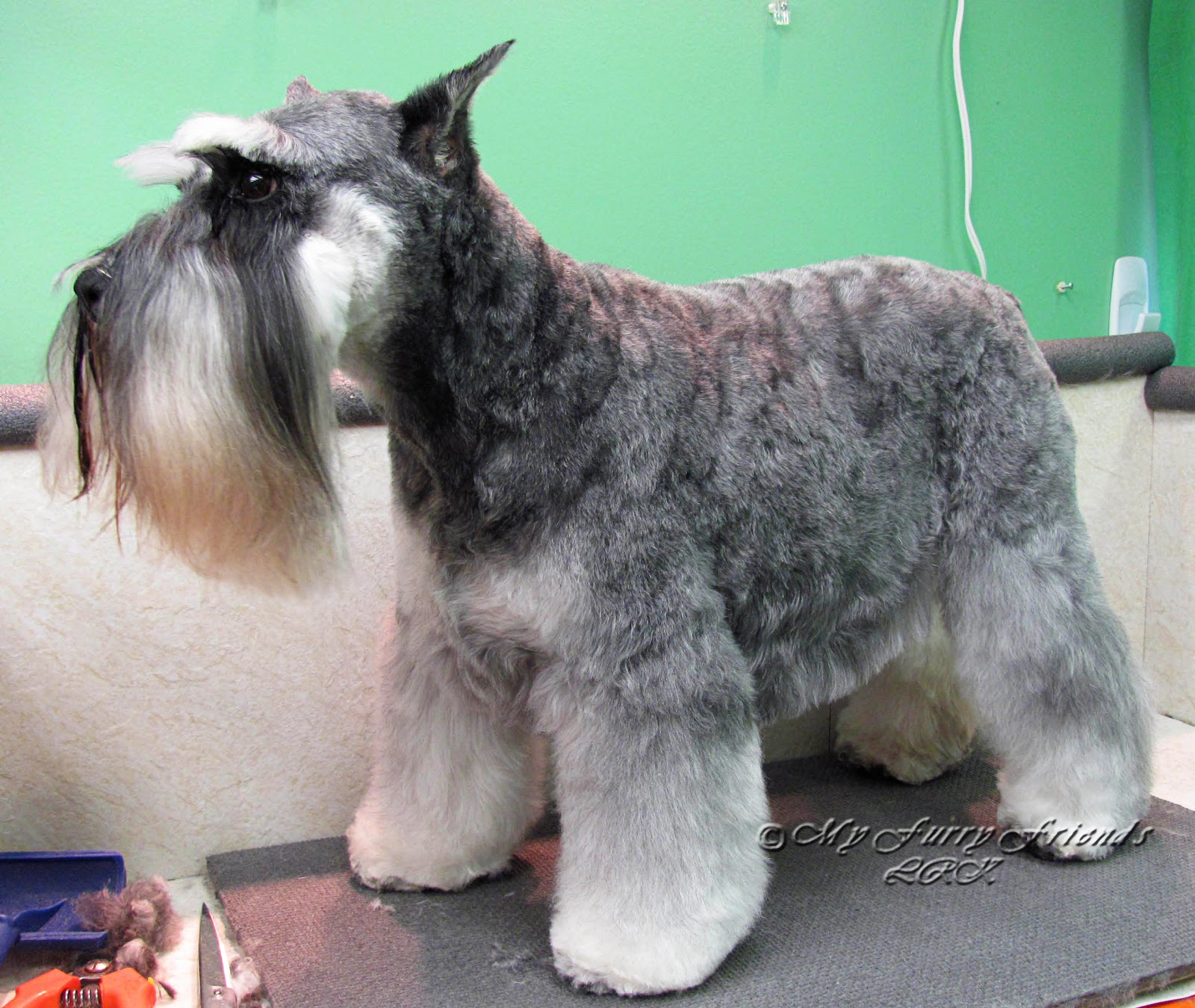 ... : The Good, The Bad, & The Furry: Different Looks of a Schnauzer