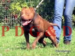 APBT MACHO -RED LEGEND
