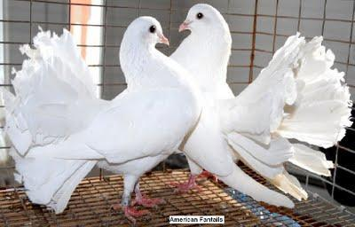 Fantail Pigeons 1