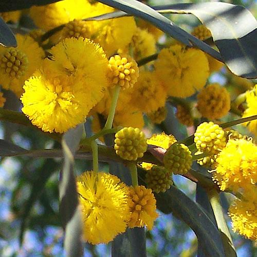 Flowers Land Acacia