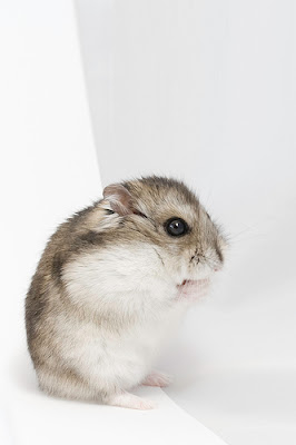Dwarf Hamster Pictures