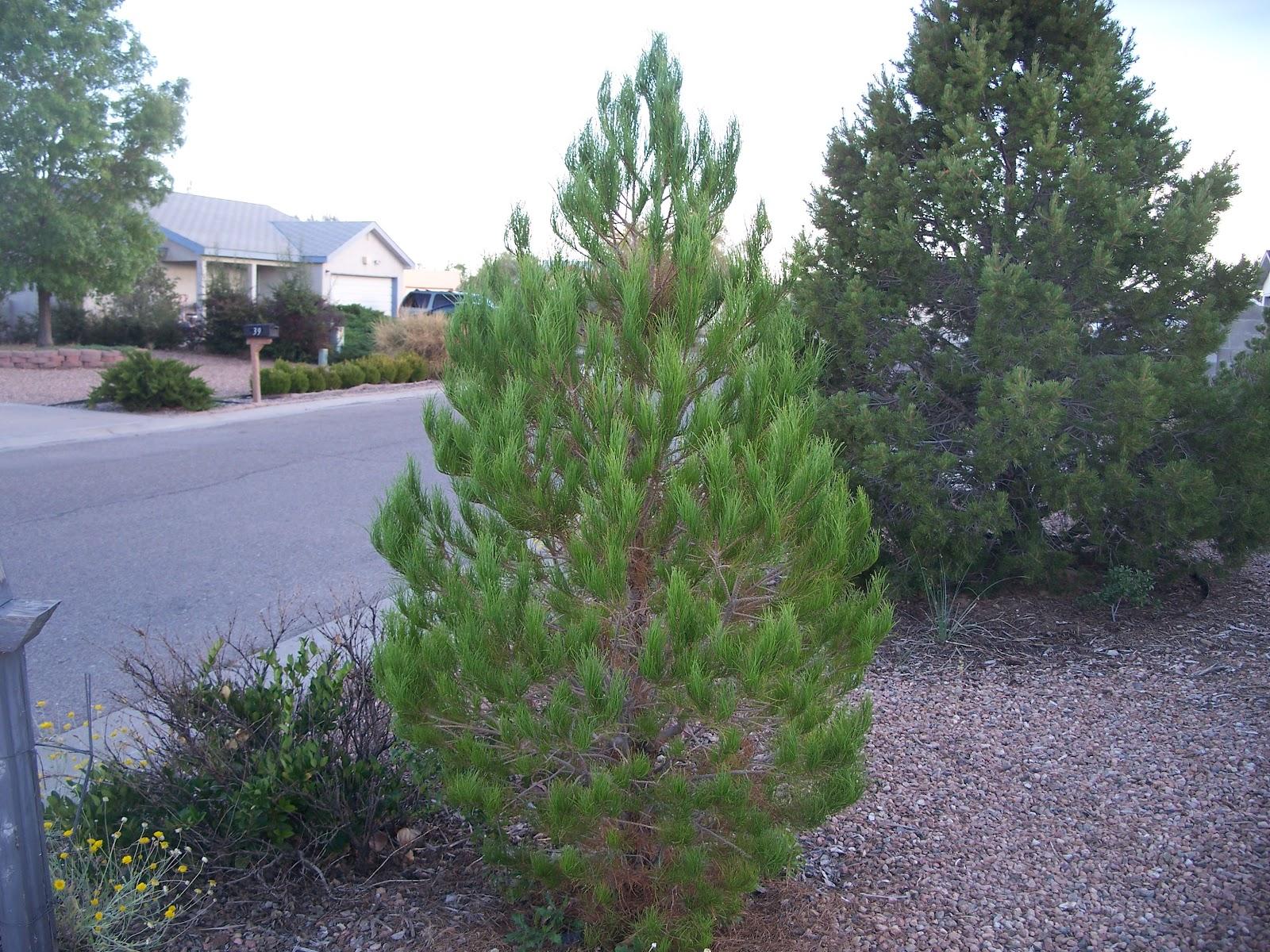 Afghan pine tree photos afghan pine trees for sale myideasbedroom