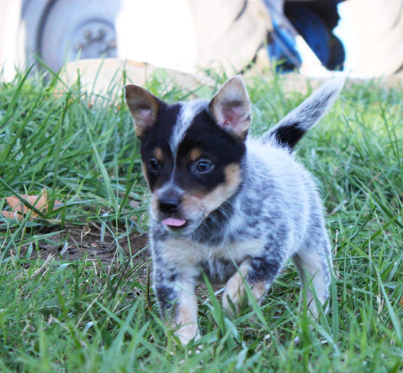 Queensland Heeler Rescue Northern California   Dog Breeds Picture