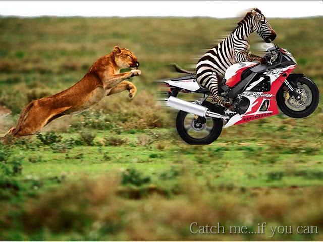 zebra, lion, animals, bike, catch, funny, picture, tapandaola111