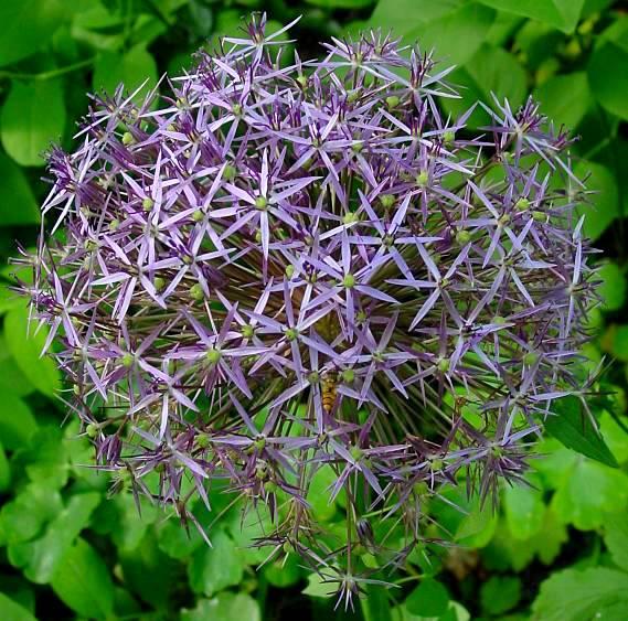 Il mondo in un giardino l 39 aglio che non si mangia for Quando piantare l aglio