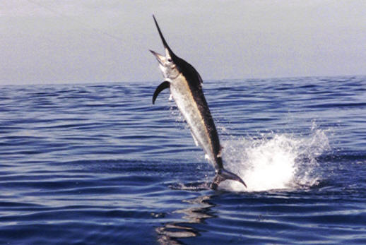 Beautiful Fastest Fish In The World Marlin
