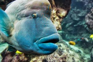napoleon fish 5